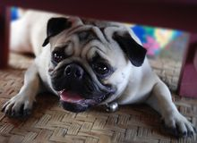 Entspannender Pug stockfotografie