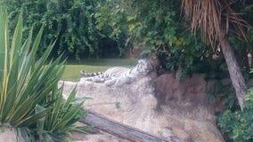 Entspannender Tiger Stockbilder