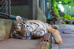 Entspannender tropischer orange gestreifter Tiger Paw in Tiger Temple Thail Lizenzfreies Stockfoto