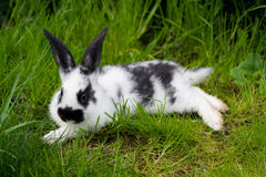 Entspannendes Kaninchen Stockfotografie