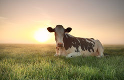 Entspannte Kuh auf Weide bei Sonnenaufgang Lizenzfreie Stockfotos