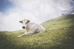 Entspannte weiße Kuh auf Weide in den italienischen Alpen Stockbilder
