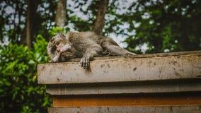 Entspannter Makakenaffe mit Blickkontakt zur Kamera Lizenzfreie Stockbilder