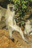 Entspanntes fallendes Lebensmittel vervet Affen aus seinem Mund heraus Lizenzfreies Stockbild