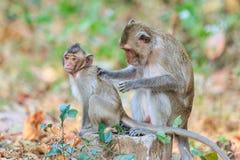 Entspannung der Affefamilie (Makaken Krabbe-essend) Lizenzfreies Stockfoto