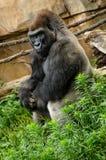 Entspannungsc$sitzen des Westtiefland-Gorillas Stockbild