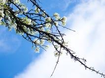 Entspringt Pflaumenblüten auf Hintergrund des blauen Himmels Lizenzfreies Stockfoto