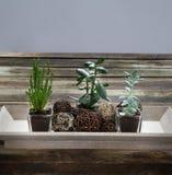 Entwerfen Sie grüne saftige Anlagen auf echtem Holztisch, grauer Hintergrund Stockfotografie