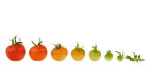 Entwicklung der roten Tomate getrennt auf weißem backgrou Stockfotografie