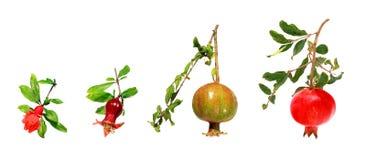 Entwicklung eines Granatapfels Lizenzfreies Stockbild