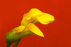 Entwined Calla Lilies. Close-up of two entwined calla lilies with red background Royalty Free Stock Images