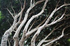 Entwined Trees Stock Images