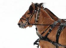 Entwurf, der das Pferdeteam bereit zu gehen fährt Stockfotografie