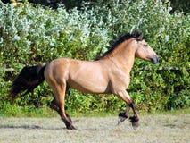 Entwurfspferdelaufgalopp auf der Wiese Stockfotografie