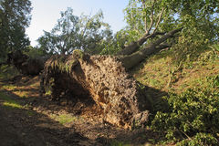 Entwurzelte Bäume lizenzfreie stockfotos