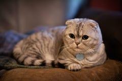 Entzückende mollige weiße und silberne schottische Falte munchkin Katze, die auf Kissen mit flacher Schärfentiefe legt stockfotografie