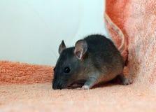 Entzückend wenig Ratte auf einem Terry-Stoff lizenzfreies stockbild