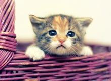 Entzückende Drei-farbige Kitten Looking Out des Korbes stockbild