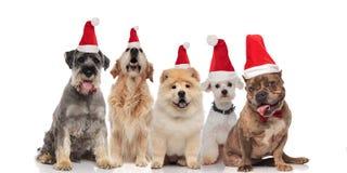 Entzückende Gruppe von fünf Sankt-Hunden der unterschiedlichen Zucht stockfotos