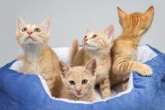 Entzückende Ingwerkätzchen in einer warmen Katze gehen zu Bett Stockfotografie