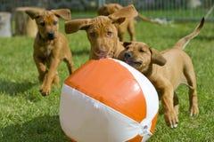 Entzückende kleine Welpen, die mit einem Ball spielen Lizenzfreie Stockfotos