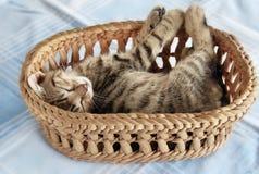 Entzückende Miezekatze, die im Korb schläft Lizenzfreie Stockbilder