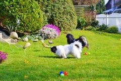 Entzückende Pekinesepaar-, weiße und Schwarze, kurze und langehaarzucht, die zusammen im Garten, Pekinesehundewelpe spielt stockbilder