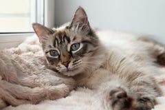 Entzückende Pelzkatze der Dichtungsluchs-Punktfarbe mit blauen Augen steht auf einer rosa Decke still stockfotografie