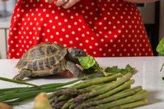 Entzückende Schildkröte, die römischen Salat isst Stockfotografie