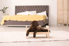 Entzückende Schokolade labrador retriever auf Spielzeugbett stockfotos