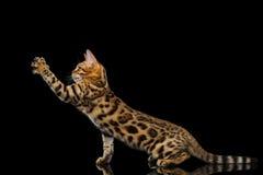 Entzückende Zucht Bengal-Miezekatze lokalisiert auf schwarzem Hintergrund stockfotografie
