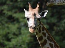 Entzückender Abschluss oben einer Giraffe in der Natur Stockfotografie