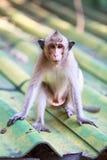 Entzückender Affe der Nahaufnahme, der auf Dach über unscharfem Hintergrund sitzt Stockbild