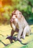 Entzückender Affe der Nahaufnahme, der auf Dach über unscharfem Natur backg isst Lizenzfreie Stockfotos