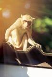 Entzückender Affe der Nahaufnahme, der auf Dach über unscharfer Naturrückseite sitzt Lizenzfreies Stockbild