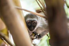 Entzückender Baby vervet Affe, der auf einem Baum im Nationalpark Amboseli (Kenia, spielt) Stockfotos