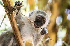 Entzückender Baby vervet Affe, der auf einem Baum im Nationalpark Amboseli (Kenia, spielt) Stockbilder
