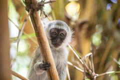 Entzückender Baby vervet Affe, der auf einem Baum im Nationalpark Amboseli (Kenia, spielt) Lizenzfreie Stockfotos