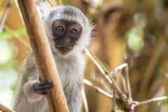 Entzückender Baby vervet Affe, der auf einem Baum im Nationalpark Amboseli (Kenia, spielt) Stockbild
