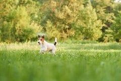 Entzückender glücklicher Foxterrierhund am Park Lizenzfreies Stockbild