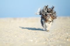 Entzückender, glücklicher und lustiger Hund Bichon Havanese mit Sand auf der Mündung, die auf dem Strand mit den Fliegenohren und stockfotografie