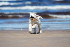 Entzückender golden retriever-Welpe auf einem Strand Lizenzfreies Stockfoto