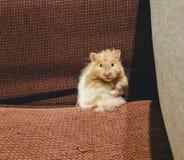 Entzückender Hamster lizenzfreies stockbild