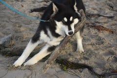 Entzückender heiserer Welpe, der auf einem Strandklotz kaut Stockbild