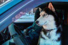 Entzückender Hund des sibirischen Huskys, der auf Fahrersitz sitzt Winterreise zum Auto mit schwarzem weißem Haustier mit blauen  stockbilder