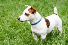 Entzückender Hund mit AntiSeitenansicht des milben- und Flohkragens Lizenzfreie Stockfotografie