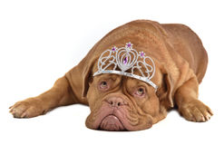 Entzückender Hund mit Diadem lizenzfreies stockbild