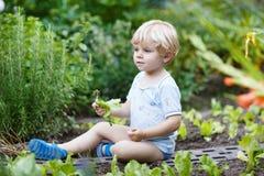 Entzückender kleiner blonder Jungensammelnsalat in einem Garten. Stockfotos