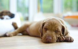 Entzückender kleiner schlafender Welpe, headshoot Lizenzfreie Stockbilder