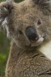 Entzückender Koala am Umhang Otway, Australien lizenzfreie stockfotografie